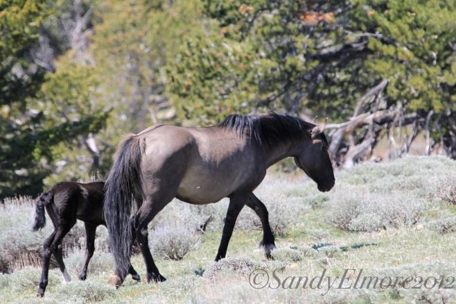 Demure and her colt, Mandan, May 20, 2012