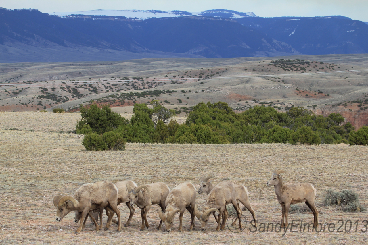 Bighorn Sheep in the Big Horn Canyon