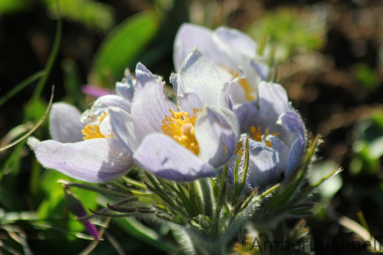 Wild Pasque Flowers on the mountain.  Photo by Amber Bushnell.