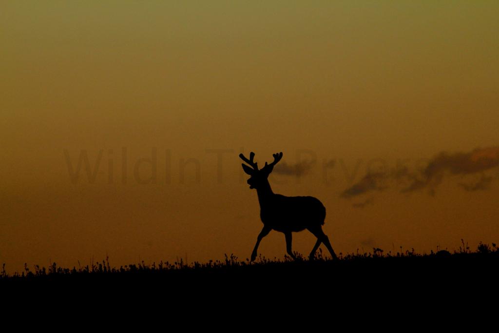 Mule Deer Buck at sunrise.