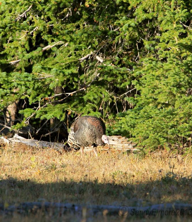 Wild Turkeys, September 10, 2013