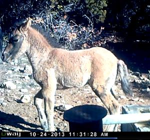 Bakken's New Foal, October 24, 2013  Photo by remote camera, NPS.