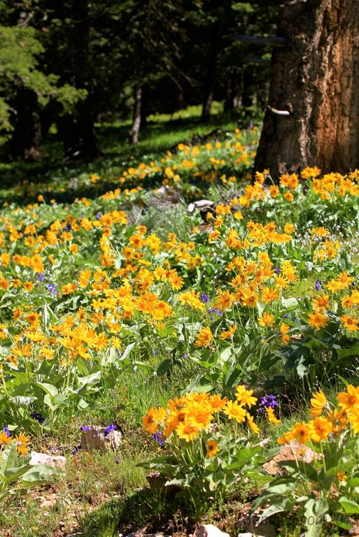 Arrowleave Balsam Root flowers.
