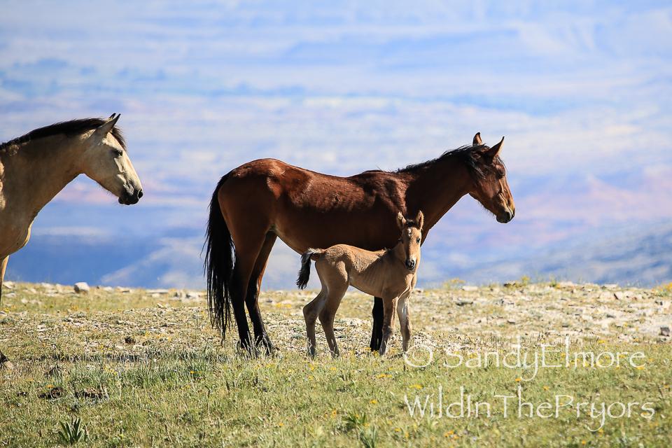 Lariat and her colt, Oklahoma, July 16, 2014