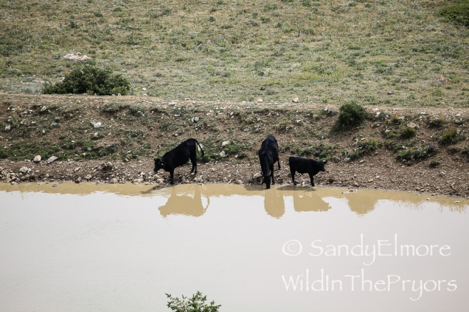 Cows at Mystic, August 19, 2014