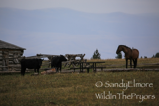 Jackson stars down the cows.  August 20, 2014