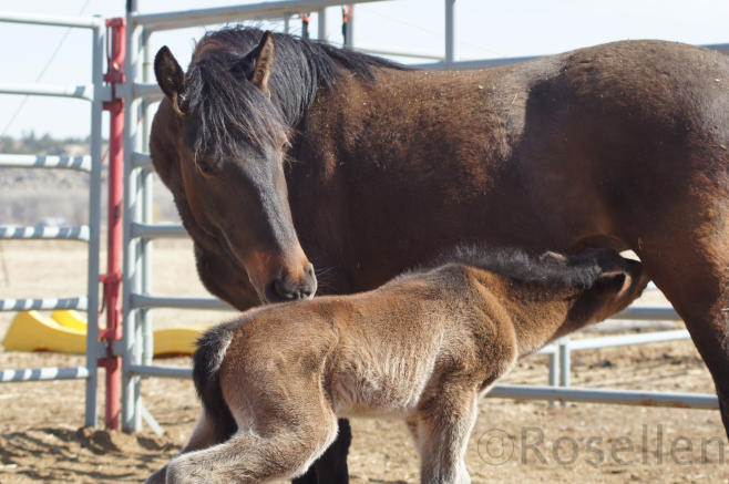 Katrina and her new foal, April 2013.