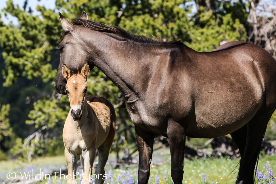 Gracianna and her 2014 foal, Odakota.  July, 2014.