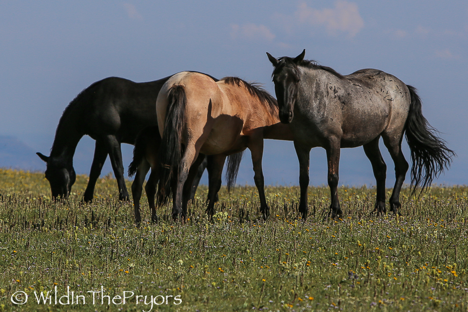 Hera (on the right), with her daughter Maia and Maia's foal, Odyssey.  July 2014